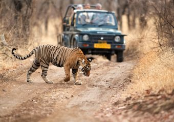 Best sighting of Tiger durbg Jeep Safari in Ranthambore National Park in Rajasthan in India