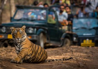 Close Encounter with Royal Bengal Tiger in Ranthambore National Park in Rajasthan in India