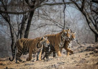 Project Tiger helped increasing numbers of Royal bengal Tigers in Ranthambore National Park in Rajasthan in India
