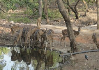 Striped Deer at Ranthambore National Park in North India