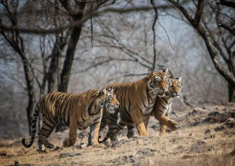 Project Tiger - Royal Bengal Tigers - Pench National Park - National parks in Central India - India